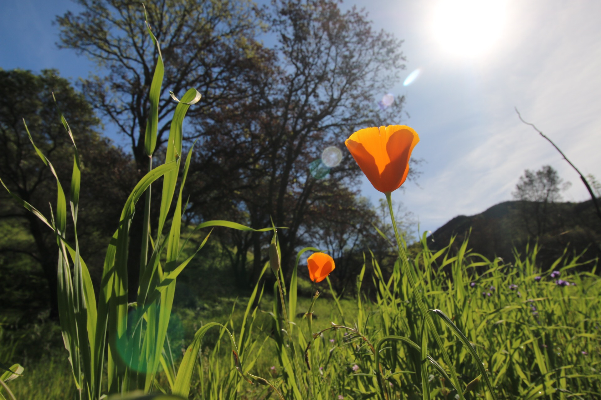 California Poppy in a grass field with trees in the background